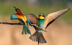 Пчелояди (merops apiaster)