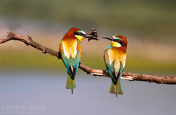 bee-eater-24